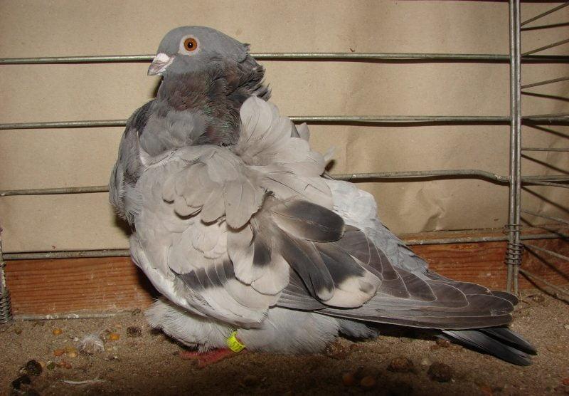 spanish pigeons