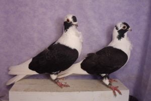 makedonian pigeons