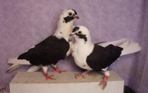 owl - makedonian - golub