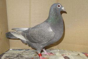 homer pigeons