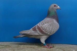 racer - pigeons