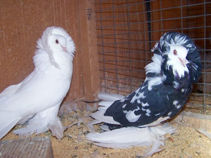 structure pigeons - kabootar