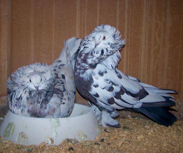 pigeons - kabutar