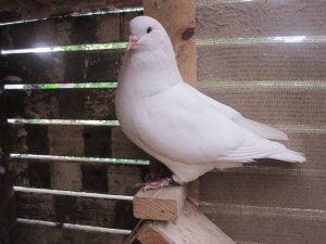 mondaine pigeons - mondain galambok