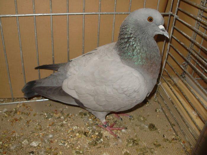 Biset Munsterois - pigeons