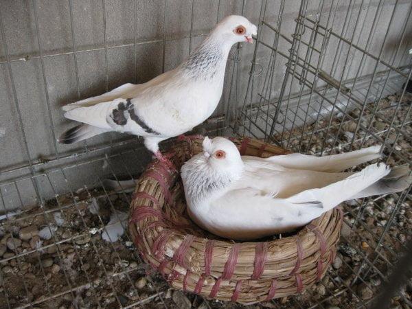 pigeons Culbutant Chinois