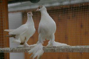 pigeons kyrmka