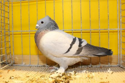 lucerne swiss pigeons