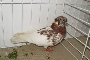 hungarian pigeons