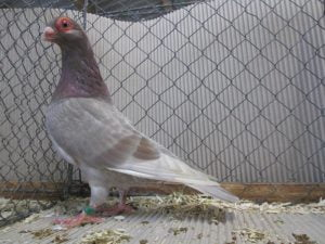 caroncules - pigeons