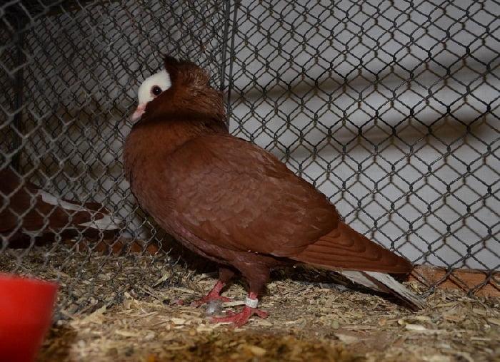 Pigeon-Thuringe