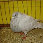 rafeno spanish pigeons