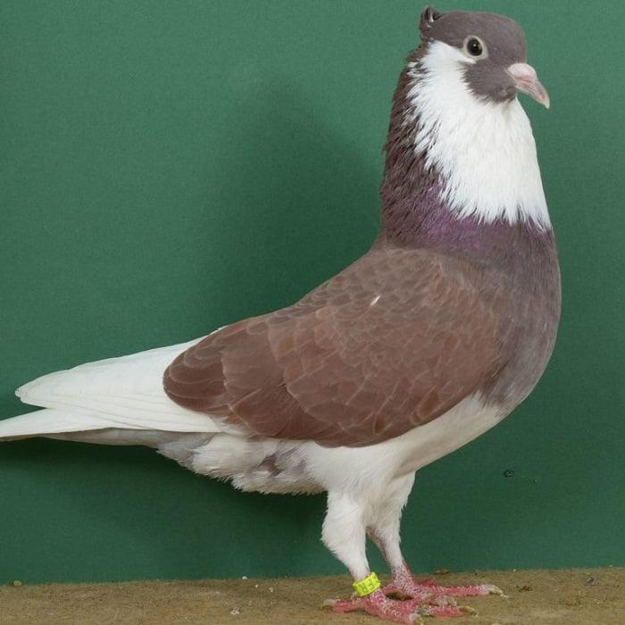 pigeons Ringslager