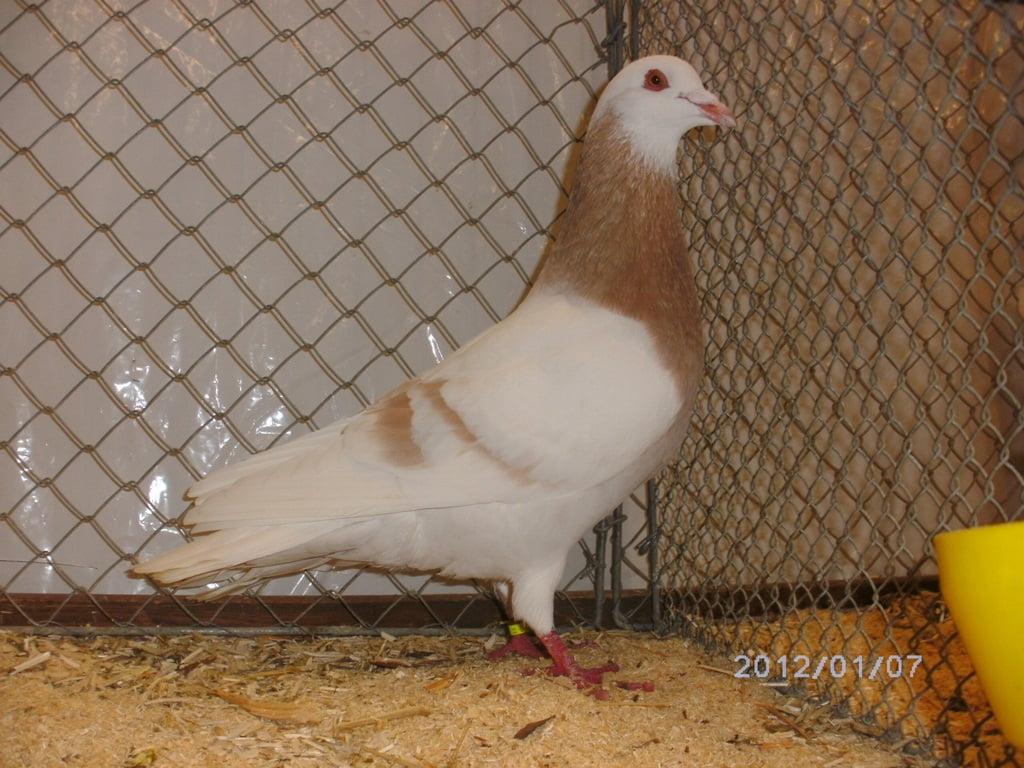 form pigeons - utility