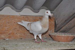 saar pigeons