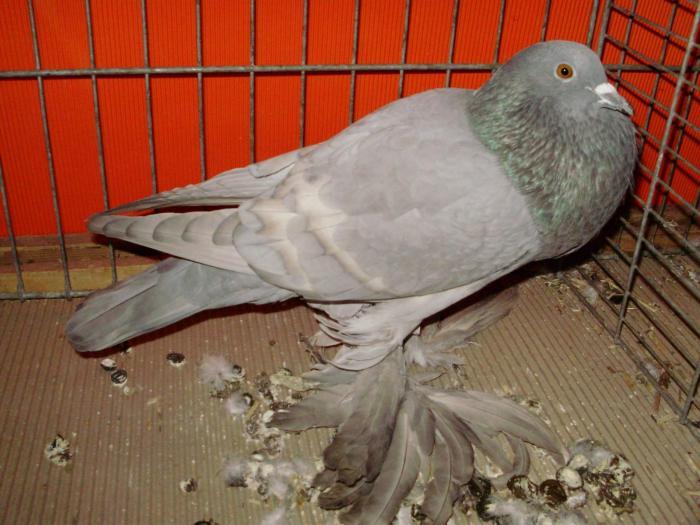 cropper pigeons