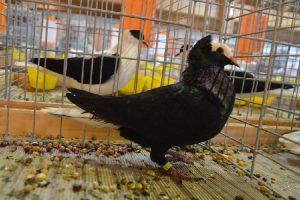 Thuringian - Pigeon