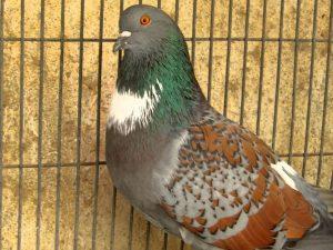 pigeon cauchois maillé jaune