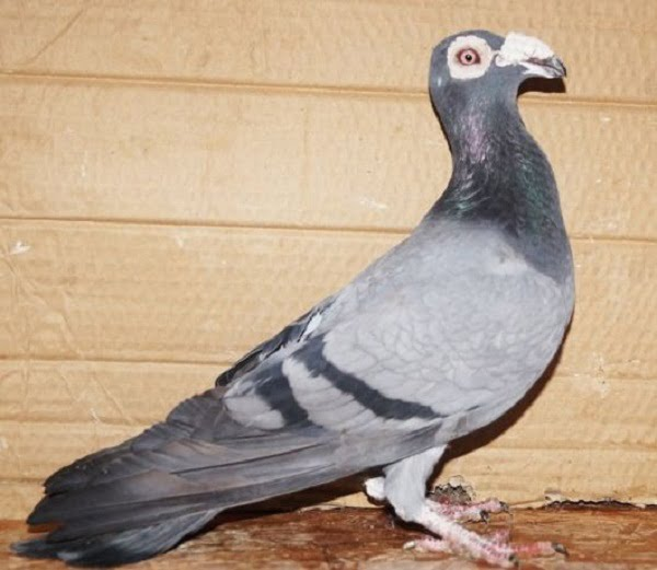 Bagadais pigeons