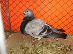 Buchon - palomas