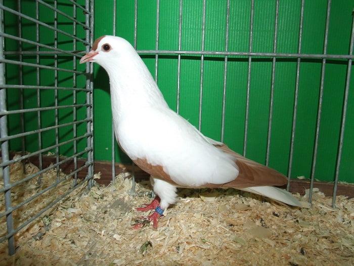 pigeons de Thuringe