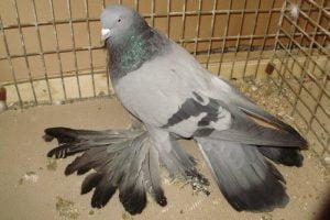 Trumpeter-pigeons