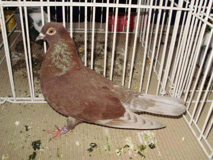 Haut-volant-pigeons
