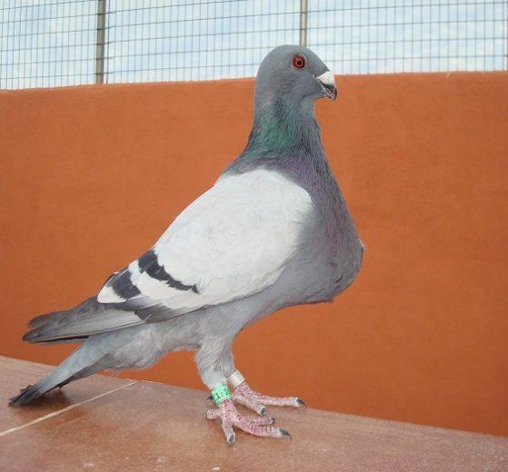 cropper pouter - pigeons pics