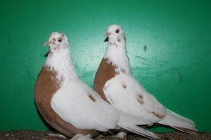 russian tumbler pigeons