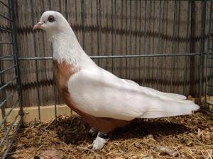 russian pigeons