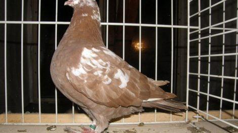 giant pigeons