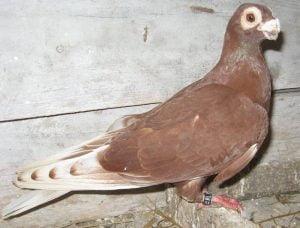 Pigeon caronculè