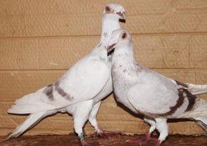 polish pigeons