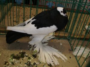 pouter pigeons