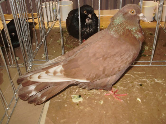high flyer pigeon breeds