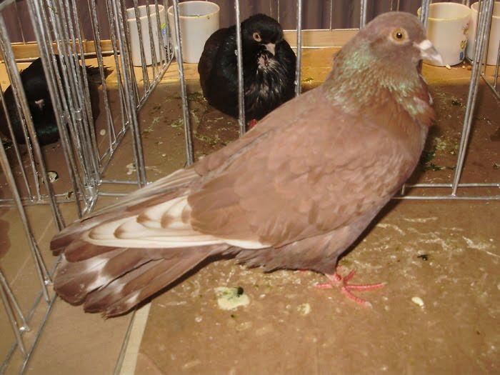 high flyer pigeon breeds