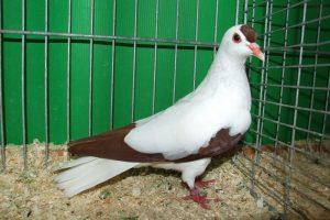 colıour german pigeons
