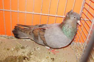 pigeons - anatolian