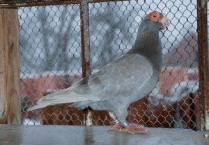 wattle pigeons