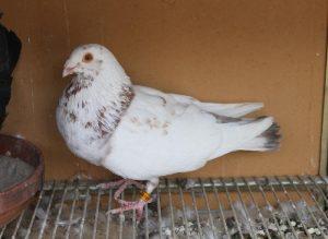 pigeons - boullant