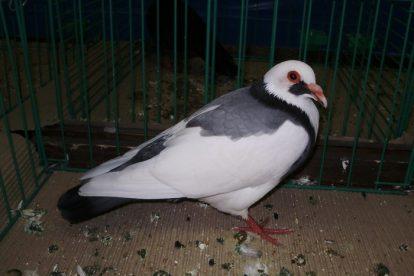 blue colour pigeons