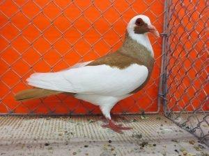 yellow pigeons - magpie