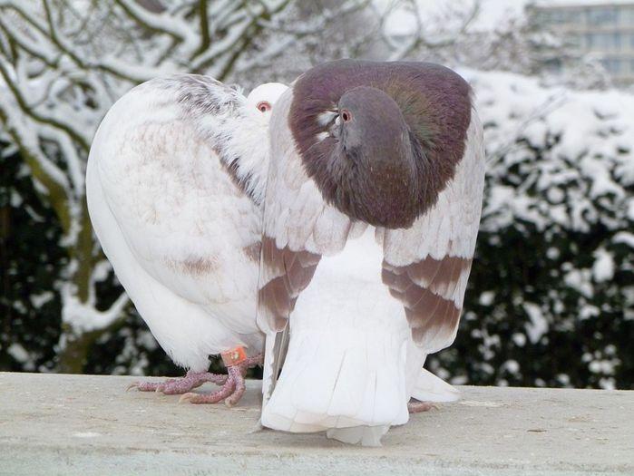 Groninger - duiven