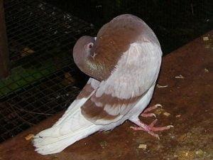 ringbater pigeons
