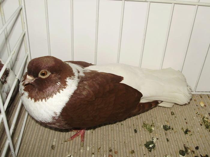 pigeons Haut-volant