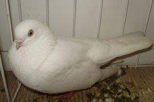 white pigeons - white tumbler pigeons