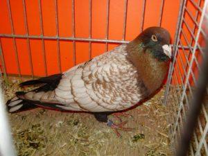 slike goluba - de forme