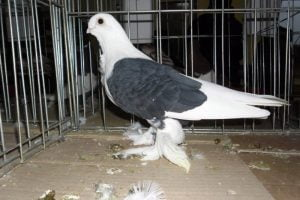 makedon pigeons