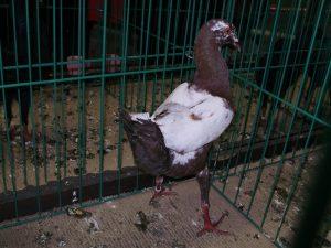 poule pigeons