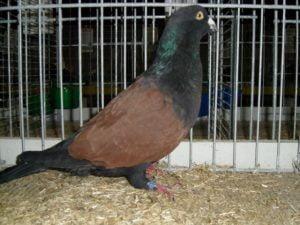 pigeon dive - form